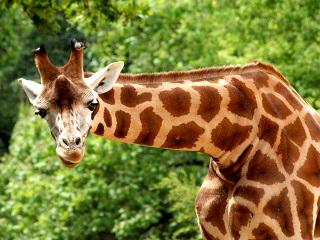 Le Girafe